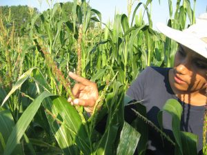 Dr. Shilpa Sood checking anthesis of a maize inbred.