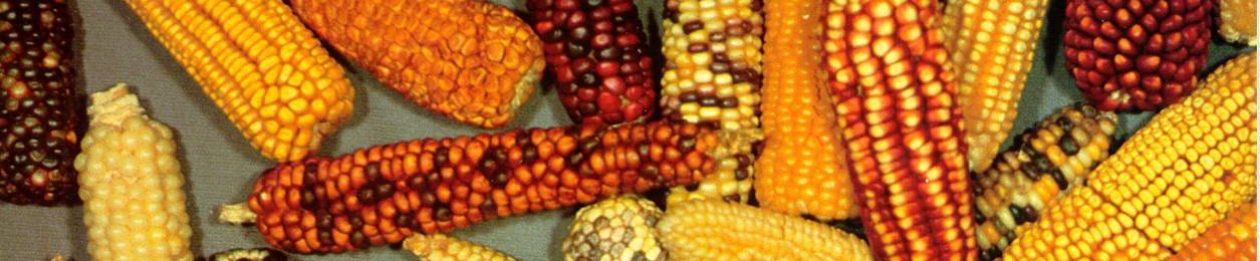 USDA-ARS maize breeding and genetics at NC State University