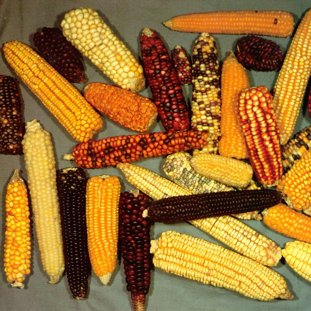 Maize breeding and genetics collaboration between USDA-ARS and NC State University